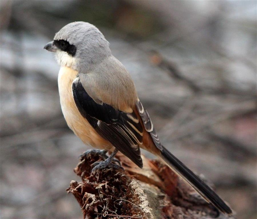 long tail shrike