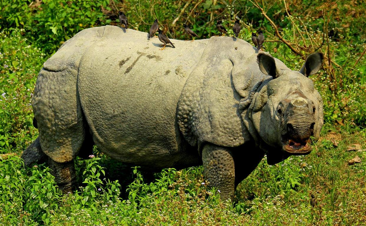 rhino kaziranga national park